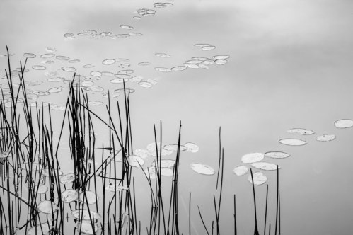 """Pondering Reeds and Lilies""  © Sue Henry"