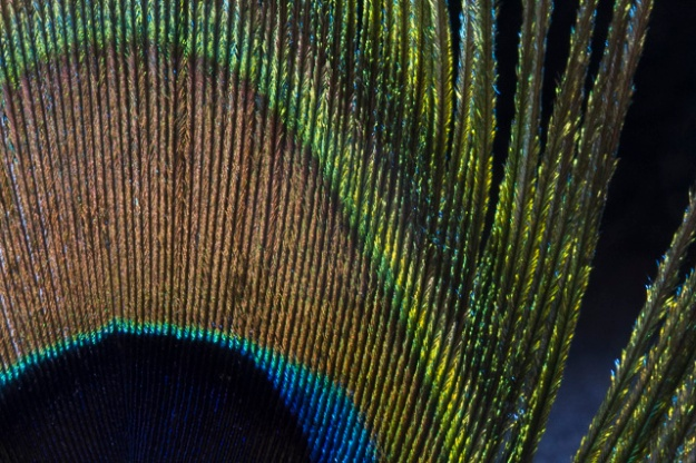 peacock-0711
