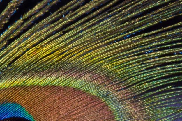 peacock-0714